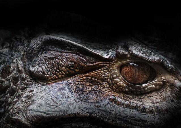 Oeil d'un alligator