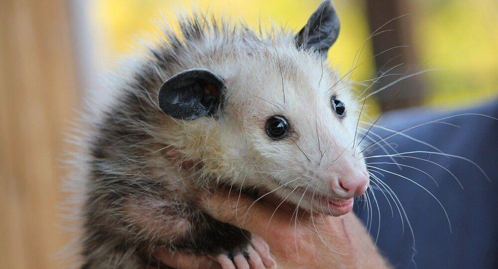 opossum, image d'illustration