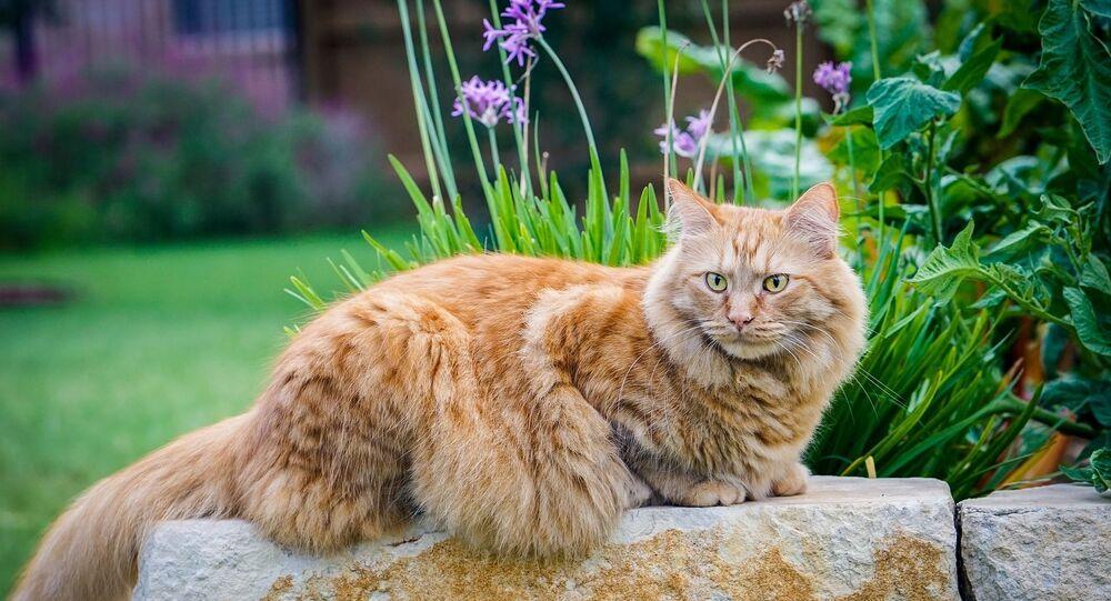 Un chat maine coon