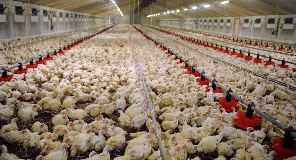Élevage de poulets en batterie dans une ferme de Plougoulm