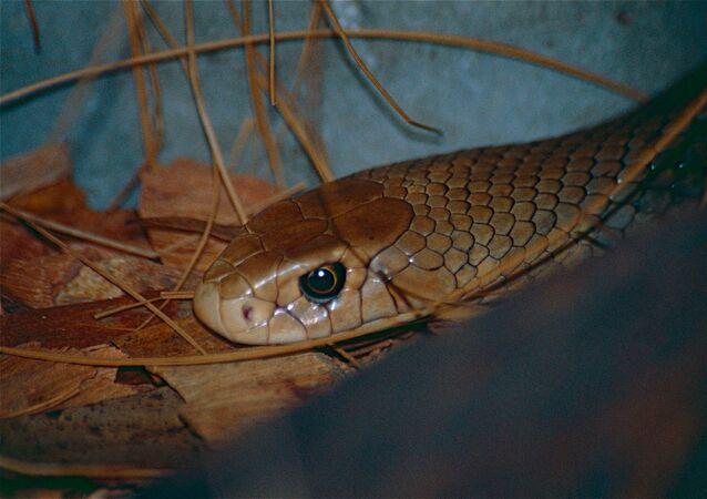 un serpent brun