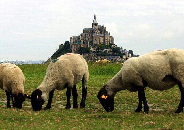 Des moutons paissent devant le site du Mont-Saint-Michel