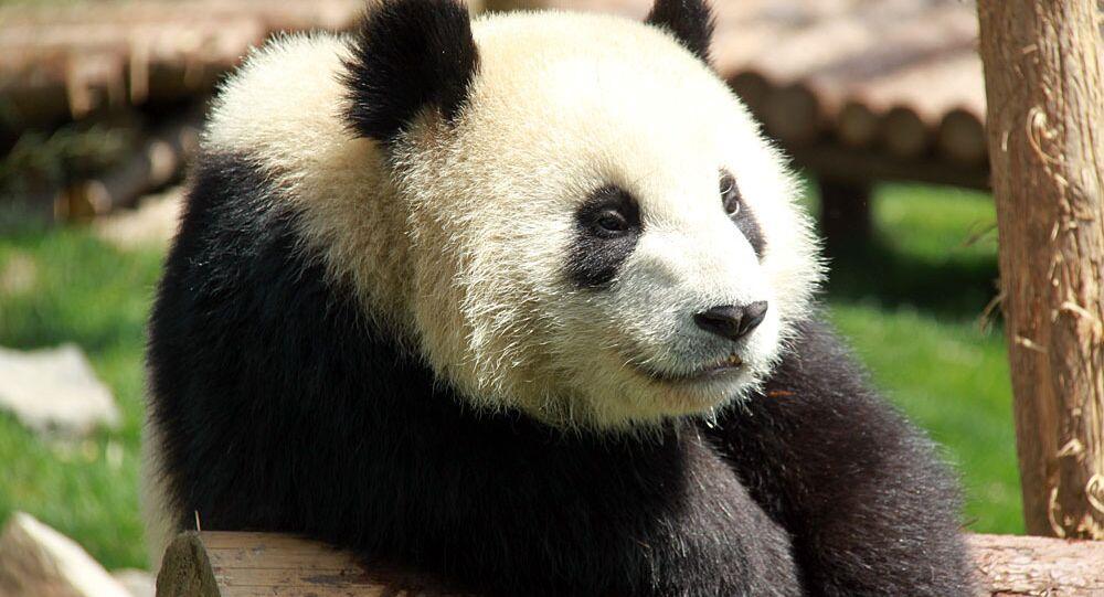 La tournée des pandas géants à Shanghai