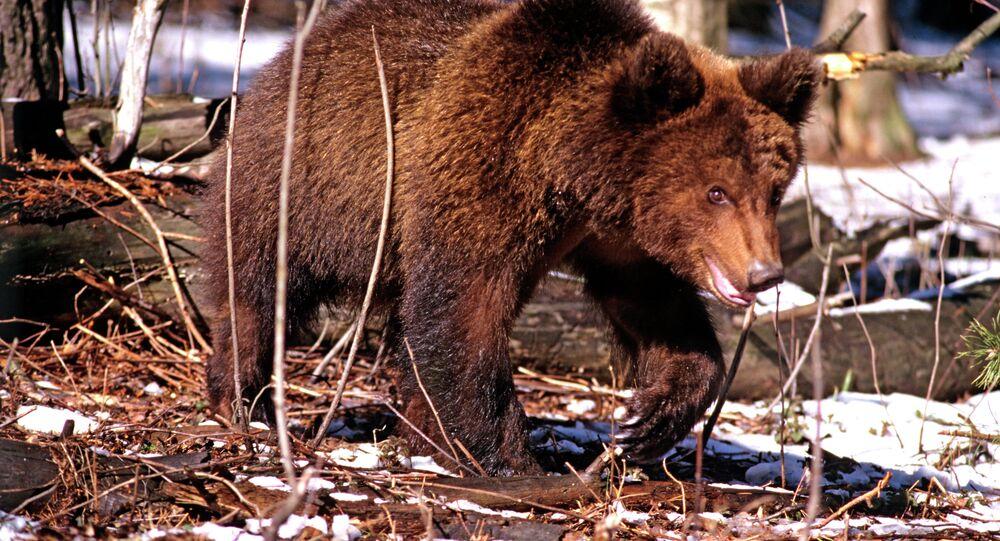 Ici c'est la Russie! Promenade matinale pour un ours dans une ville du Kamchatka (Vidéo)