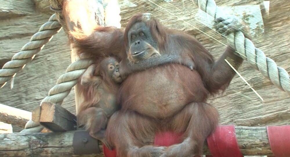 Une femelle orang-outan et son bébé au zoo de Moscou