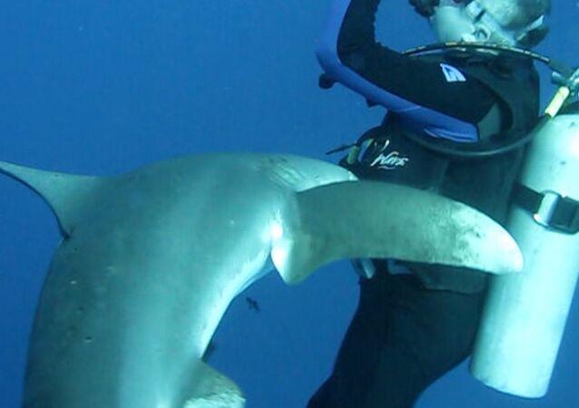 Un requin avec un couteau dans la tête demande de l'aide à un plongeur (VIDEO)